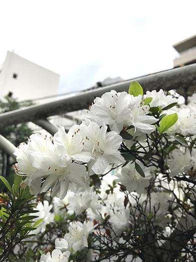 ツツジの咲く、東京ショールームへ♪
